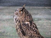 Portrait of long-eared owl Asio otus, Strigidae family.  stock image