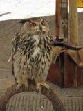 Portrait of long-eared owl Asio otus, Strigidae family.  stock images