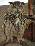 Portrait of long-eared owl Asio otus, Strigidae family.  royalty free stock photography