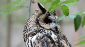 Portrait of Long-eared Owl Stock Photography