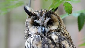 Portrait of Long-eared Owl Royalty Free Stock Images