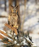 Portrait of a Long-eared owl. Close up image of a long-eared owl, perched on a snowy tree branch Stock Photography