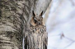Portrait of Long-eared Owl near birch-tree Royalty Free Stock Image