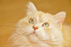 Portrait long hair cat. Norwegian Forest Cat portrait Royalty Free Stock Images