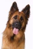 Portrait of a long hair German shepherd. Portrait of a long haired German shepherd Royalty Free Stock Image