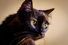 Portrait of long haired cat Royalty Free Stock Photos