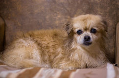 Portrait of long haired chihuahua Royalty Free Stock Images