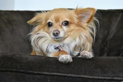 Portrait of a Long Haired Chihuahua. That was rescued and adopted. december 2017 royalty free stock photo