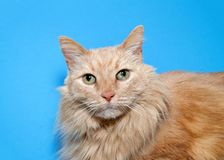 Portrait of a long haired orange tabby cat on blue royalty free stock photo