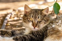 Portrait of a long haired tabby cat stock photo