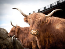 Portrait of a long horned cow Stock Image