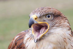 Portrait of a Long-legged Buzzard with open beak Stock Images