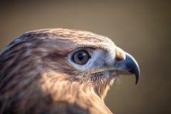Portrait of Long-legged buzzard Stock Photography