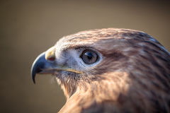 Portrait of Long-legged buzzard Royalty Free Stock Image