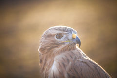 Portrait of Long-legged buzzard Stock Photography