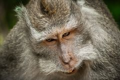 Portrait of long tailed macaque monkeys at sacred monkey forest stock image