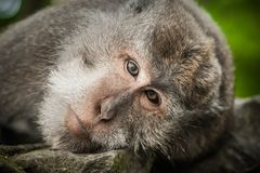 Portrait of long tailed macaque monkeys at sacred monkey forest stock images
