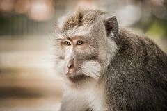 Portrait of long tailed macaque monkeys at sacred monkey forest stock photography