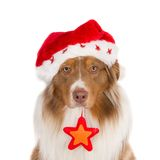 Portrait of a looking Australian Shepherd wearing a Santa hat and a Christmas star Royalty Free Stock Image
