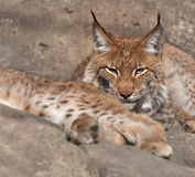 Portrait looking lynx Stock Image