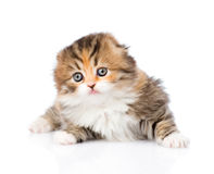 Portrait lop-eared Scottish kitten on white background Stock Photography