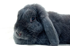 Portrait of the lop rabbit stock photos