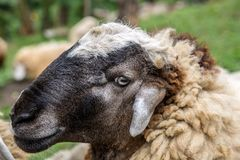 Portrait loseup of brown sheep head in New Zeland. Portrait loseup of brown sheep head stock image