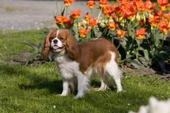 Portrait of lovely Cavalier King Charles spaniel Stock Photography