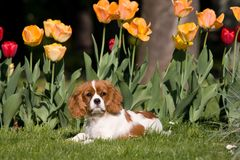Portrait of lovely Cavalier King Charles spaniel Royalty Free Stock Image