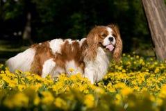 Portrait of lovely Cavalier King Charles spaniel Stock Photo