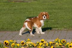 Portrait of lovely Cavalier King Charles spaniel Royalty Free Stock Images