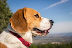 Portrait lovely dog ​​breed Beagle stock photos