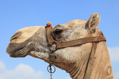 Portrait of a lovely Egyptian camel Stock Images