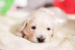 Portrait of lovely golden retriever puppy girl with rose ribbon lying on the floor stock photography