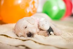 Portrait of lovely golden retriever puppy sleeping with little teddy bear on the blanket.  stock image