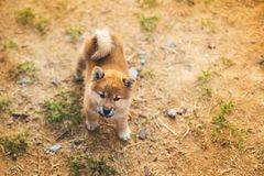 Portrait of lovely japanese shiba inu puppy standing outside on the ground and looking to the camera stock photos
