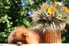 Portrait of lovely pomeranian dog with  flowers in summer on nature green background Royalty Free Stock Photos