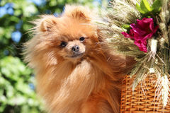 Portrait of lovely pomeranian dog with  flowers in summer on nature green background Royalty Free Stock Images