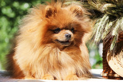 Portrait of lovely pomeranian dog with  flowers in summer on nature green background Stock Photography