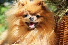 Portrait of lovely pomeranian dog with  flowers in summer on nature green background Stock Images