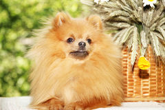 Portrait of lovely pomeranian dog with  flowers in summer on nature green background Royalty Free Stock Image