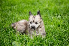 Portrait of lovely powder puff puppy breed chinese crested dog lying in the green grass on summer day. Portrait of lovely powder puff puppy breed chinese stock photo