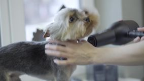 Portrait of lovely puppy in the salon. Professional drying fur of cute Yorkshire Terrier dog in the grooming salon. The. Portrait of lovely puppy in the salon stock video footage