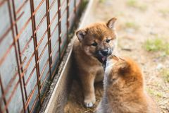 Portrait of lovely red shiba inu puppy sitting and kissing its brother stock image
