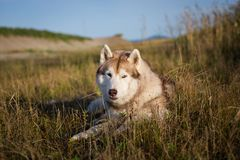 Portrait of lovely siberian husky dog with brown eyes lying in the field near the sea at golden sunset. Portrait of lovely beige and white siberian husky dog stock images