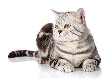 Portrait of lovely silver cat lying on a white background Stock Image