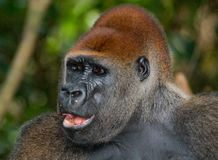 Portrait of lowland gorilla. Republic of the Congo. An excellent illustration Royalty Free Stock Photos
