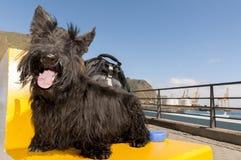 Portrait of lucky black scottish terrier Stock Photo