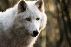 Luna, the arctic wolf. A portrait of Luna, the arctic wolf that I took few days ago royalty free stock photos