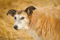 Portrait of a Lurcher. Royalty Free Stock Image